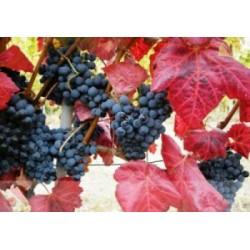 Vigne rouge